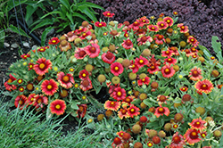 Arizona Red Shades Blanket Flower (Gaillardia x grandiflora 'Arizona Red Shades') at Frisella Nursery
