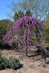 Lavender Twist Redbud (Cercis canadensis 'Covey') at Frisella Nursery
