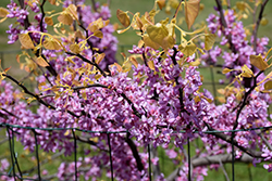 The Rising Sun Redbud (Cercis canadensis 'The Rising Sun') at Frisella Nursery