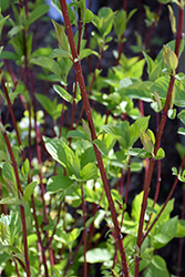 Bailey Red-Twig Dogwood (Cornus baileyi) at Frisella Nursery