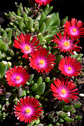 Jewel Of Desert Garnet Ice Plant (Delosperma 'Jewel Of Desert Garnet') at Frisella Nursery