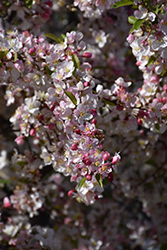 Candymint Flowering Crab (Malus sargentii 'Candymint') at Frisella Nursery