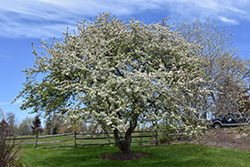 Snowdrift Flowering Crab (Malus 'Snowdrift') at Frisella Nursery