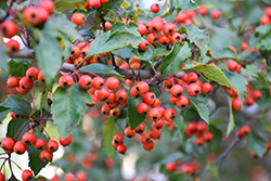 Winter King Hawthorn (Crataegus viridis 'Winter King') at Frisella Nursery