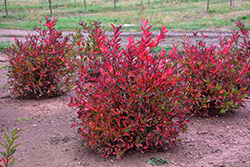 Merlot Virginia Sweetspire (Itea virginica 'Merlot') at Frisella Nursery