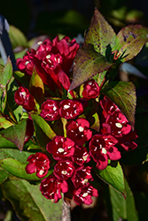 Maroon Swoon® Weigela (Weigela 'Slingco 2') at Frisella Nursery