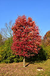 Autumn Flame Red Maple (Acer rubrum 'Autumn Flame') at Frisella Nursery
