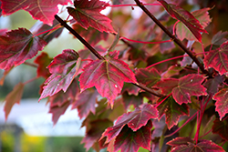 Brandywine Red Maple (Acer rubrum 'Brandywine') at Frisella Nursery