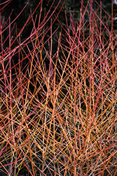 Midwinter Fire Dogwood (Cornus sanguinea 'Midwinter Fire') at Frisella Nursery