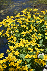Marsh Marigold (Caltha palustris) at Frisella Nursery