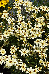 Buttermilk Tickseed (Coreopsis 'Buttermilk') at Frisella Nursery