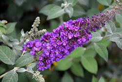 Miss Violet Butterfly Bush (Buddleia 'Miss Violet') at Frisella Nursery