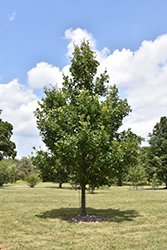 Heritage English Oak (Quercus x macdanielii 'Clemons') at Frisella Nursery