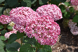 Invincibelle® Spirit II Smooth Hydrangea (Hydrangea arborescens 'NCHA2') at Frisella Nursery