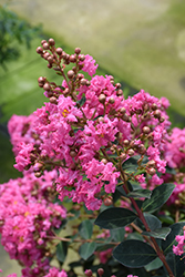 Infinitini® Watermelon Crapemyrtle (Lagerstroemia indica 'G2X133181') at Frisella Nursery
