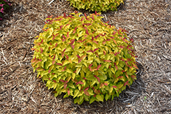 Double Play® Candy Corn® Spirea (Spiraea japonica 'NCSX1') at Frisella Nursery