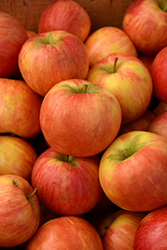 Honeycrisp Apple (Malus 'Honeycrisp') at Frisella Nursery