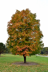 Sugar Maple (Acer saccharum) at Frisella Nursery