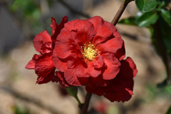 Double Take Scarlet™ Flowering Quince (Chaenomeles speciosa 'Double Take Scarlet Storm') at Frisella Nursery