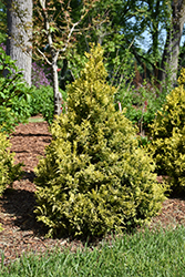 Soft Serve® Gold Falsecypress (Chamaecyparis pisifera 'FARROWCGMS') at Frisella Nursery