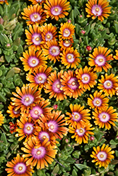 Fire Spinner Ice Plant (Delosperma 'Fire Spinner') at Frisella Nursery