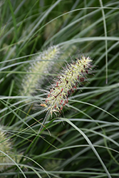 Little Bunny Dwarf Fountain Grass (Pennisetum alopecuroides 'Little Bunny') at Frisella Nursery