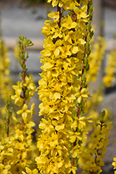 Show Off® Starlet Forsythia (Forsythia x intermedia 'Minfor6') at Frisella Nursery